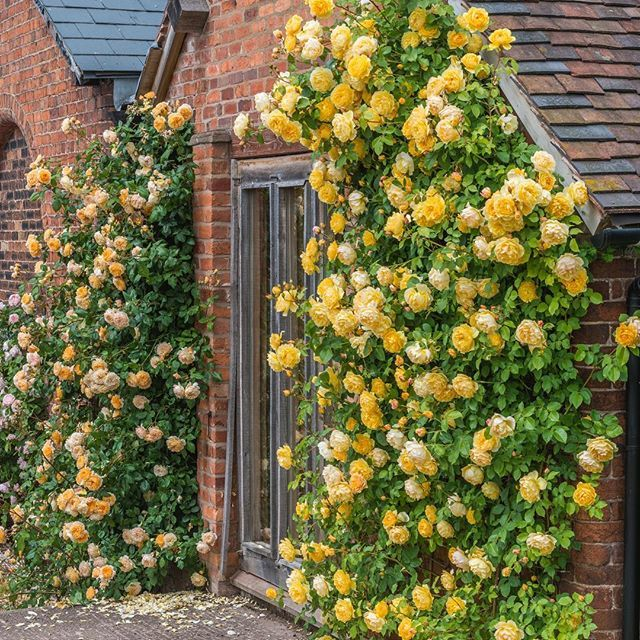 Now this is a climbing rose!  Graham Thomas is an English climber and is on sale for a limited time at http://www.heirloomroses.com/graham-thomas.html #heirloomrose #grahamthomas. #instagardenlovers #instagarden #mygarden #mygardentoday #gardendesign #gar