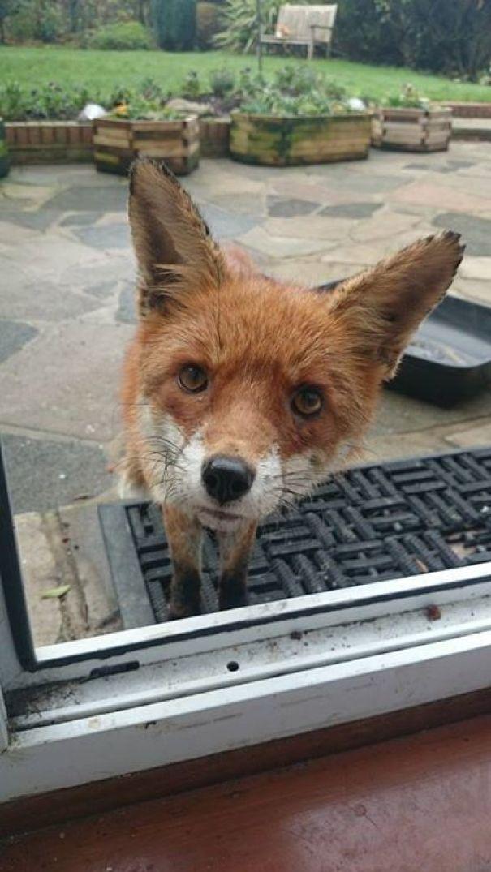 I Too Have A Nosy Fox That Visits! Meet Megan