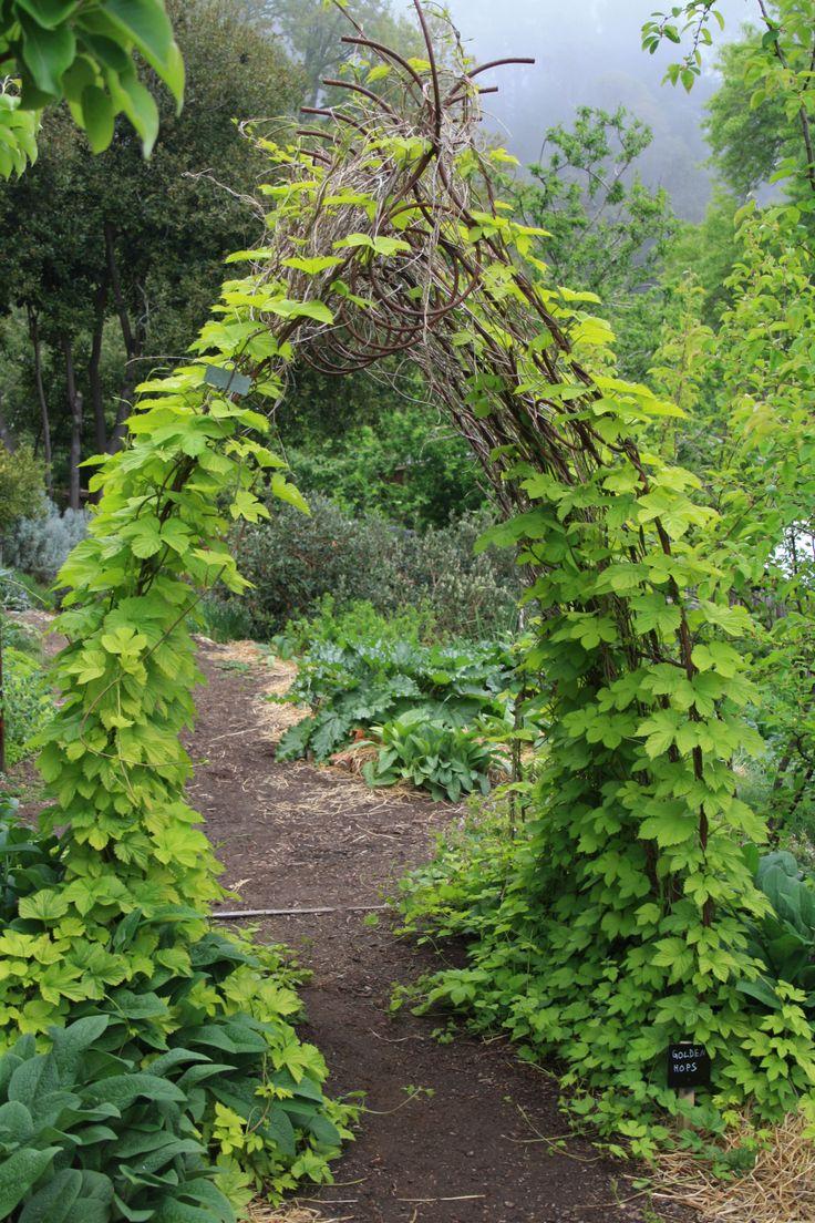 Best 25 hops trellis ideas on pinterest for Hops garden designs