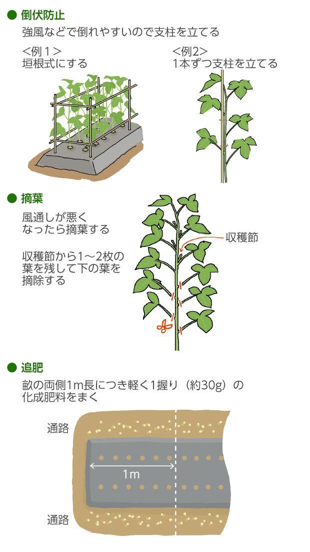 オクラの育て方 栽培方法 失敗しない栽培レッスン 野菜の育て方