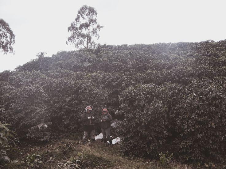 Coffee Plantations, Costa Rica || @esha__ #costarica #travel #centralamerica #backpacking #coffee #coffeeplantations