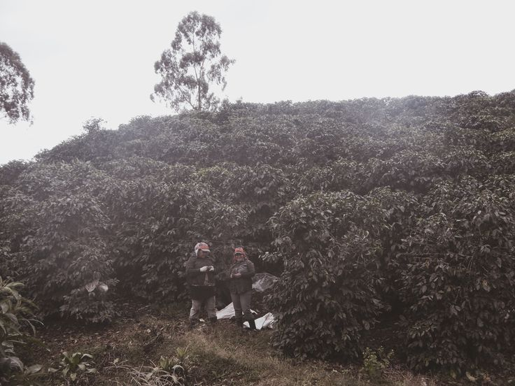 Coffee Plantations, Costa Rica    @esha__ #costarica #travel #centralamerica #backpacking #coffee #coffeeplantations