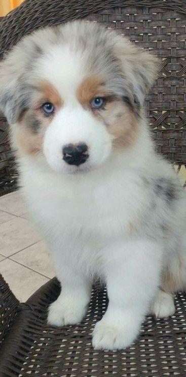Blue Merle Aussie Pup