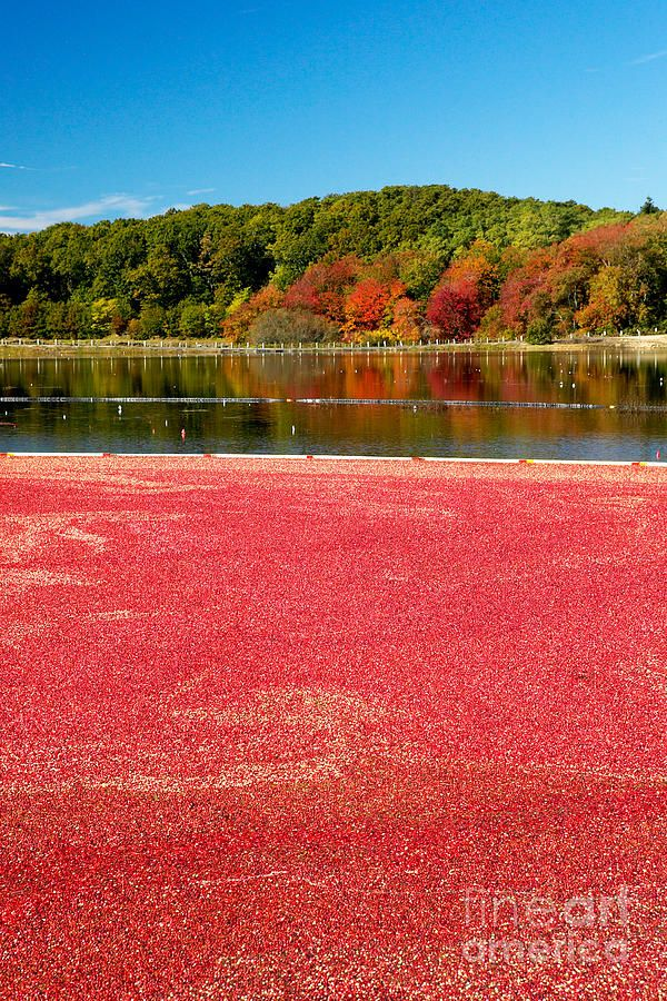 ✮ Cape Cod Cranberry Bog in the Fall    My home town Sandwich, MA (13th gen Mayflower descendant-Harlow & Howland) is unbelievable in the fall. In my opinion the best time to visit the Cape. Room rates drop, still warm enough to sight-see, more locals then tourists and LESS TRAFFIC!
