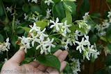 Confederate Jasmine vine!  Such a sweet fragrance and beautiful climbing up an old Live Oak tree!!