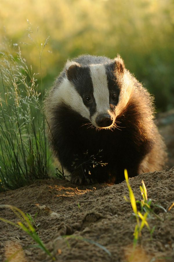 It's not right to kill badgers just because some of them in the UK catch a type of tuberculosis from cows, which could then be passed on to other cows. More research should be done into vaccinations. These animals are so furry, and cute, and an essential part of our ecosystems.