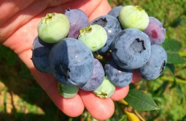 Голубика канадская (черника) Elizabeth НОВИНКА ИЗ ЛУЧШИХ МИРОВЫХ ПИТОМНИКОВ! Голубика Elizabeth - высокоурожайный сорт высокорослой голубики, который плодоносит в начале августа. Сорт крупноплодный, до 22мм в диаметре, ягоды кисло-сладкие, один из лучших сортов по вкусовым качествам, прекрасно подходят для употребления как в сыром, так и переработаном виде. Сорт Elizabeth подходит для механической сборки. Морозостойкость до -32°C.