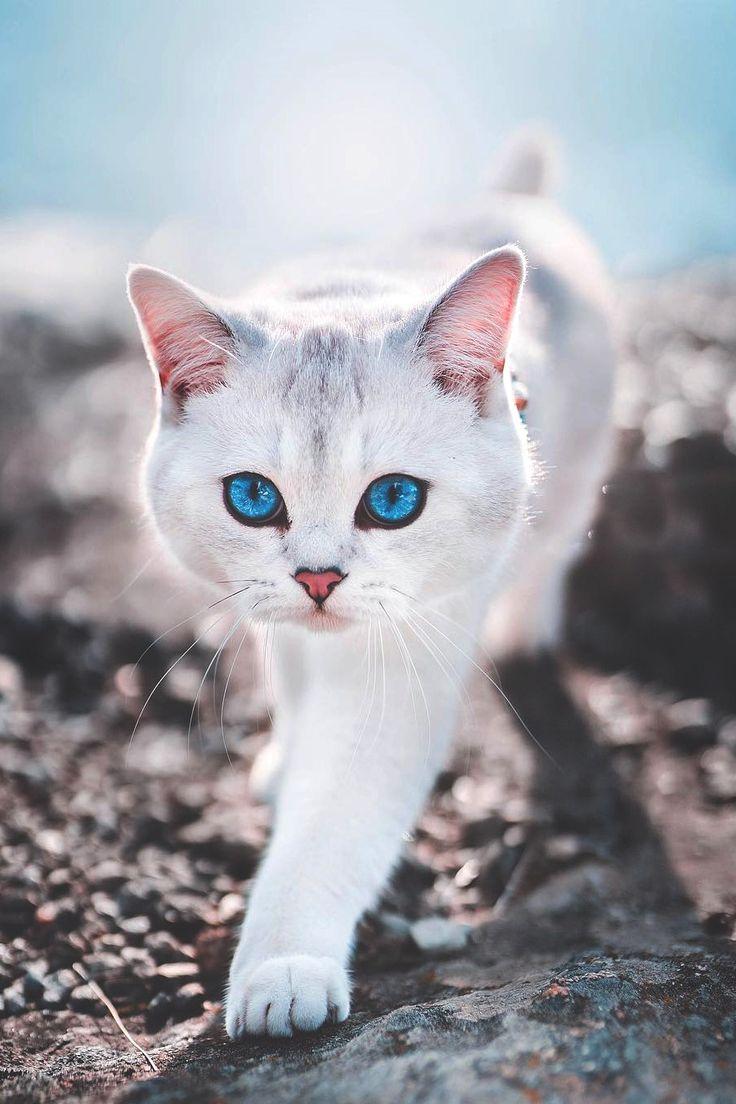 Weiße Katze mit atemberaubenden türkisen Augen! #cat #whitecat #turquoiseeyes – Tiere (vor allem Katzen) und Menschen