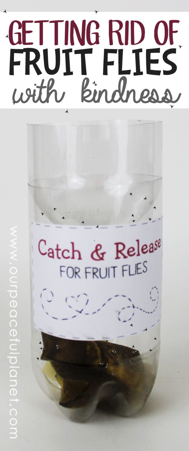 Getting rid of fruit flies can be done quickly and kindly with a DIY fruit fly catcher made from a plastic bottle. Just add some ripe fruit for bait!