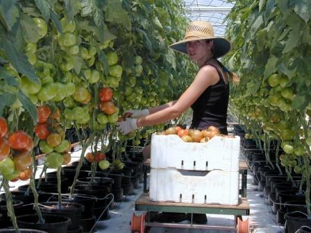 Autopot Tomatoes.