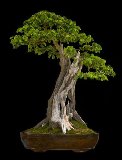 JP: Quiebracho (Phitecellobiumtortum) Height: 36 in, 90 cm