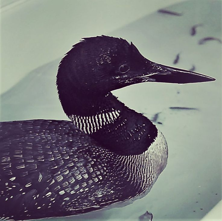 A #birdbath.  This lil guy was getting the oil cleaned off him.  #loon #aquatic #bird #gavia #diver #oilspill #wildlifephotography #birdsofinstagram #birdsanctuary #veterinarian #education #nikon #photography