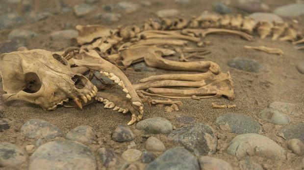 El increíble hallazgo bajo un zoológico en Perú  Encontraron restos de perros sacrificados al lado de tumbas de jóvenes guerreros. Foto: AFP
