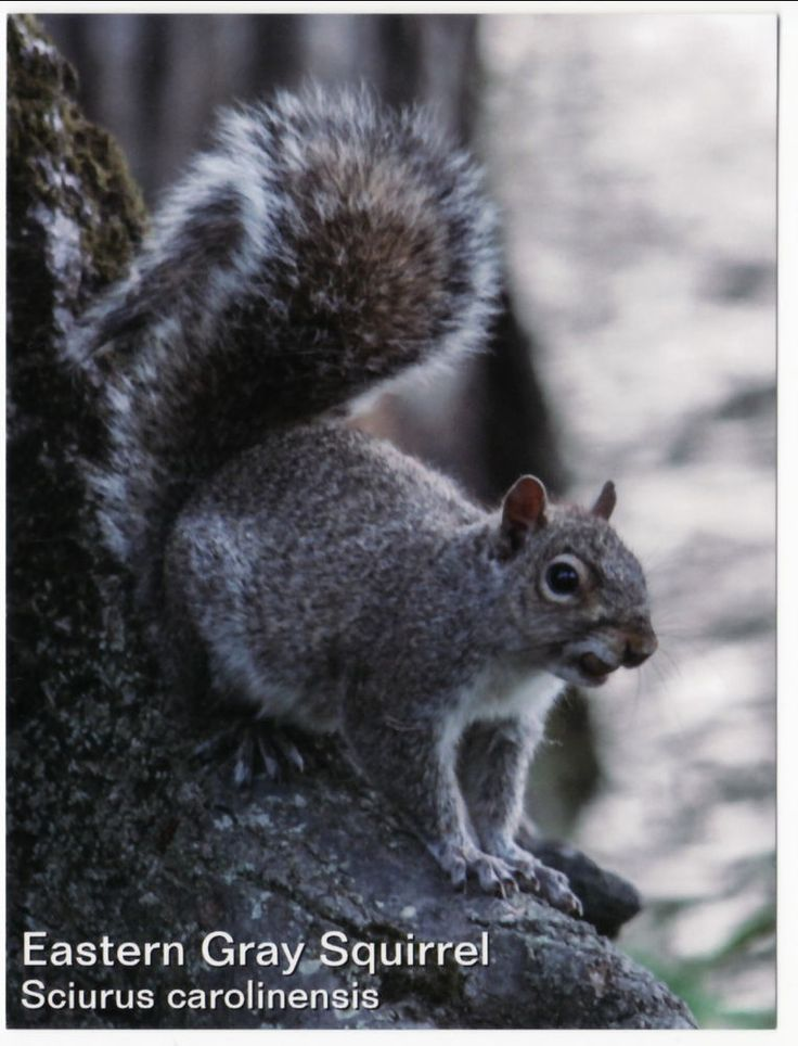 Postcard of Eastern Gray Squirrel #ContinentalSizeChromeErapostcard