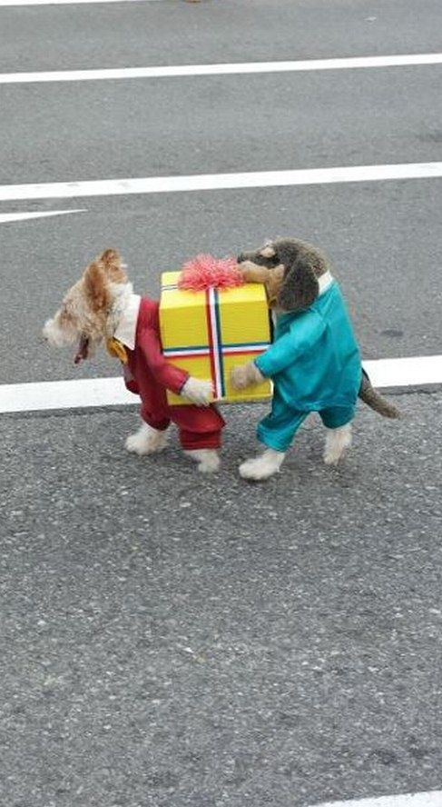 Two dogs carrying a present Halloween costume. This is brilliant!