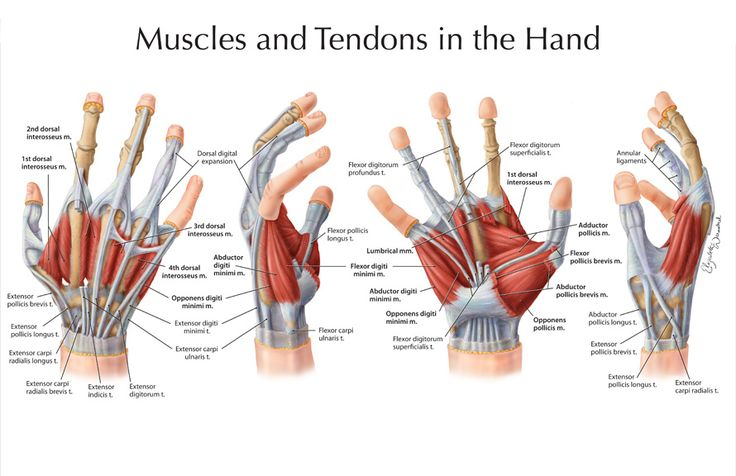 Anatomy hand muscles