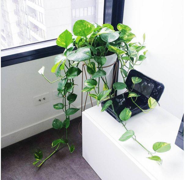 Devil's Ivy or Pothos (Epipremnum aureum)   15 Beautiful House Plants That Can Actually Purify Your Home