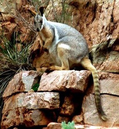 KANGAROO IN THE WILD IN AUSTRALIA.......:)