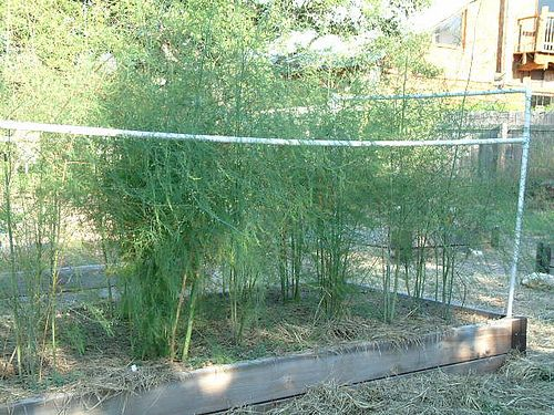 How Many Asparagus To Plants In X Raised Bed