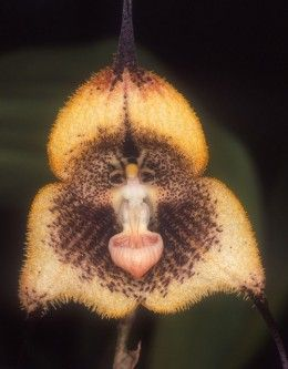 Monkey orchids                                                                                                                                                      More