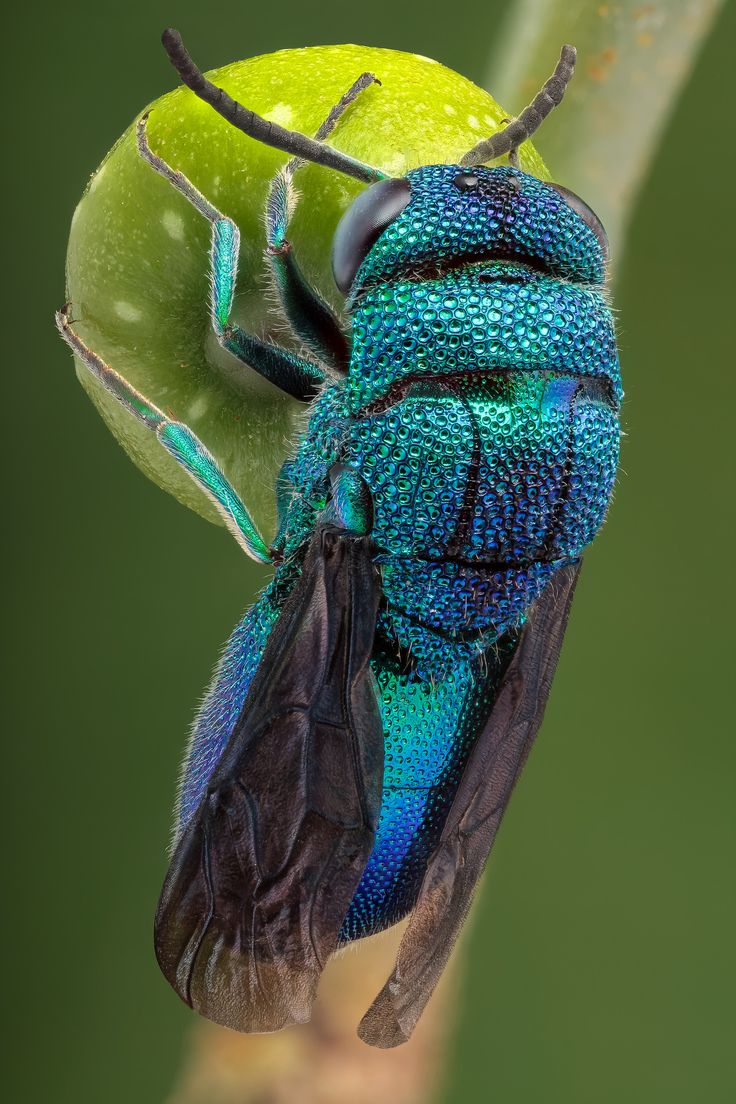 Cuckoo wasp | A splendid bluish-green Cuckoo wasp (11mm, Chrysidoidea, ID: ...) from the miombo forests in Katanga (DR Congo, January 2015). Found it in an old dried wooden post.   Studio work. Specimen rehydrated and staged on a smaller fruit of  Ficus microcarpa. Focus stack based on 120 images, assembled in Zerene Stacker (Pmax & Dmap), not cropped.  Canon 5D mkii, Canon MP-E 65mm at 2.7x, ISO-100, f/6.3, 1/160s, tracing paper diffused flash.