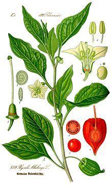 Lampionblume (Blasenkirsche) – Physalis alkekengi L.