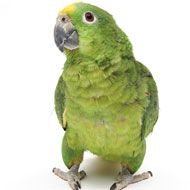 Amazon parrots have a reputation for being the great communicator when it comes to reading their body language. These birds seem to make good use of every feather to tell you when they are excited or aggressive; they fan out their tail feathers and fluff their head feathers. Combine this display with pinning eyes, and your Amazon couldn't make himself any cleare
