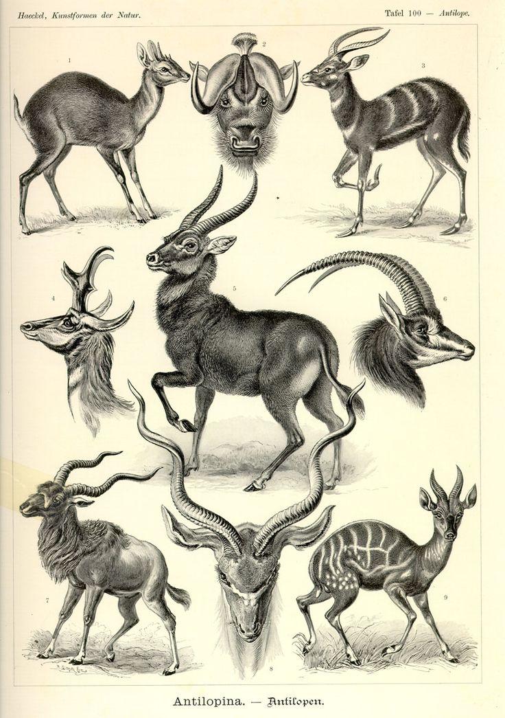 Antilopina via Kunstformen der Natur (1900) Illustration by Haeckel