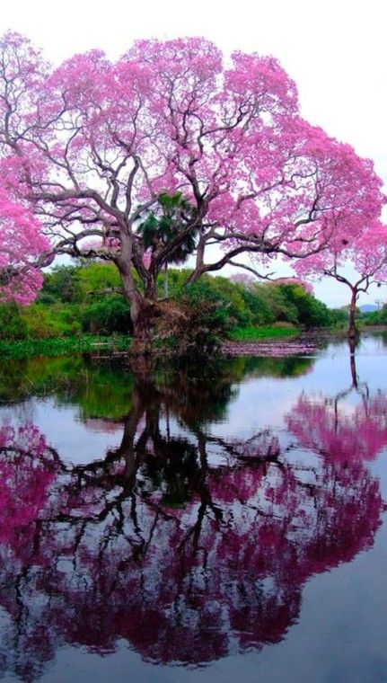 Blossoming piúva in Corumbá, Mato Grosso do Sul, Brazil • photo: Walfrido Tomas on Flickr