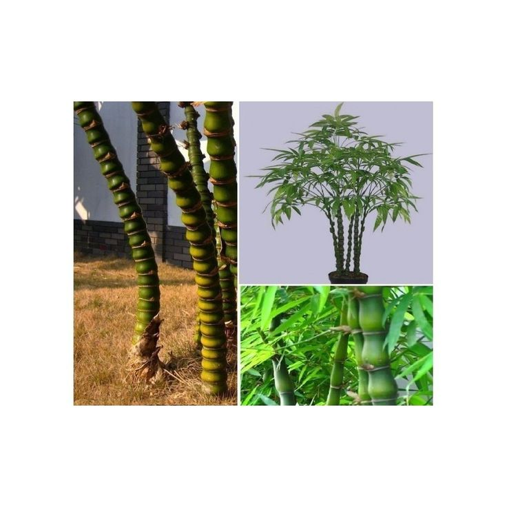 Buddha bamboo - Buddha's-belly bamboo Seeds  1,95€  Buddha bamboo - Buddha's-belly bamboo Seeds (Bambusa ventricosa) Price for Package of 5 seeds.This beautiful form of Buddha Belly bamboo has culms that emerge green and soon turn a beautiful golden-yellow with green stripes. Like the green form, it will grow straight and slender, given ideal conditions. This bamboo is best as a container plant where with proper care and pruning it