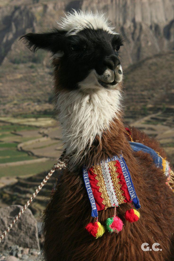 Lama, Colca Canyon, Peru