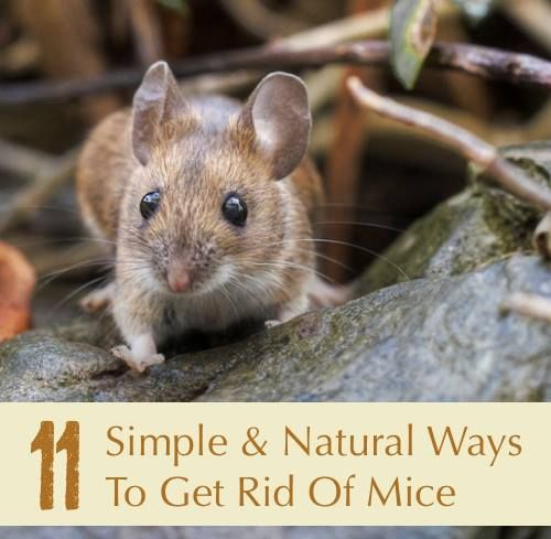 Natural Ways To Rid Home Of Mice