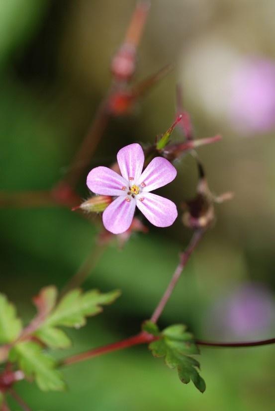 British Wild Flower - Herb Robert. Photo credit: D. Allison.