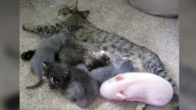 Piglet Thinks He S A Kitten Kittens Piglet Mother Cat