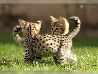 Savannah: Katzen & Katzenbabys - Kaufen bei Deine-Tierwelt.de