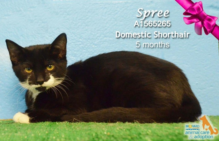 5 month old kitten for adoption at Broward County Animal