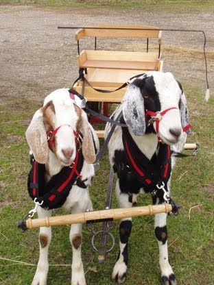 Goat cart two goats Monty and Cowboy.jpg 580×774 pixels