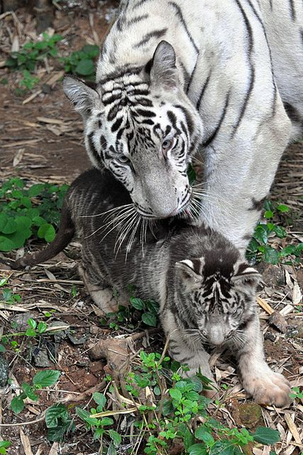 """The White tiger cub in a rare black complexion, along with its completely white siblings, is on display for the public to see at the Arignar Anna Zoological Park in Vandalur, Chennai, India.    A black tiger is something of a rarity and zoo officials are quite excited by the development. ""The colouring might be due to genetic reasons. A black cub is exactly the same as a regular tiger in all aspects, except for its skin colour."" - and the mommy looks blueish..."