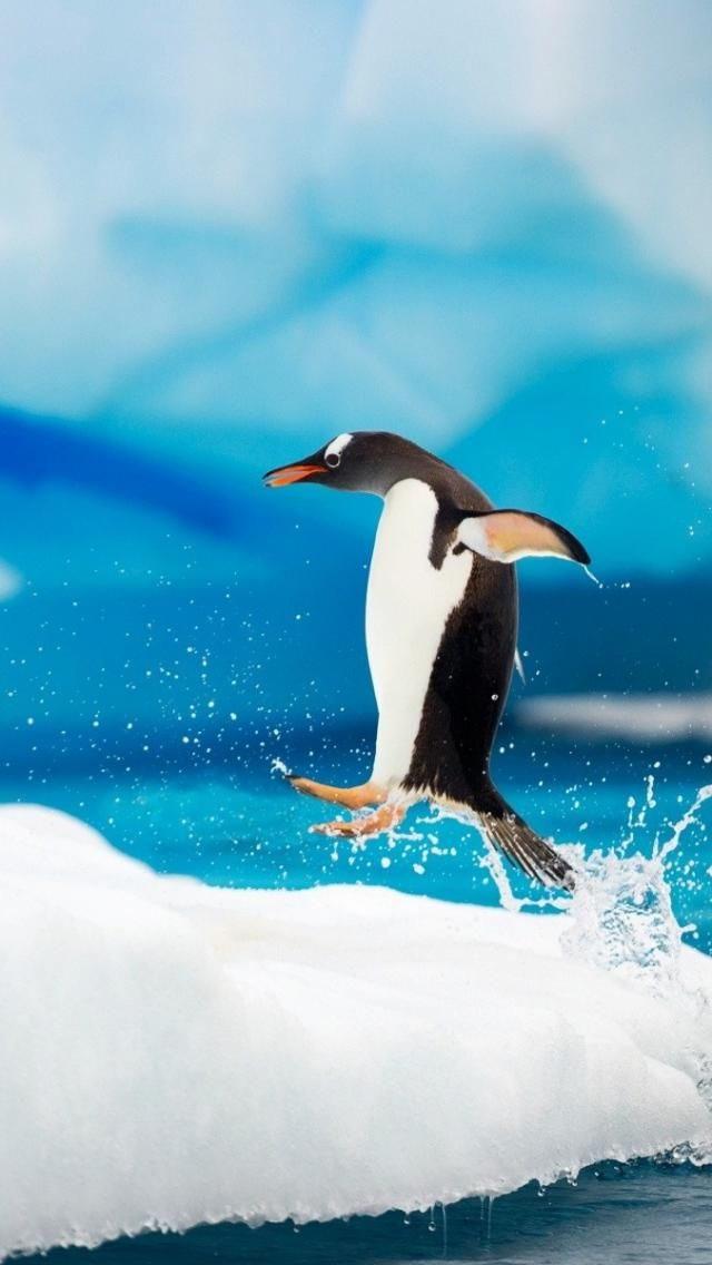 http://www.mywallpapershd.net/wallpapers/2012/11/HappyAntarctic-penguins-on-ice--1136x640.jpg