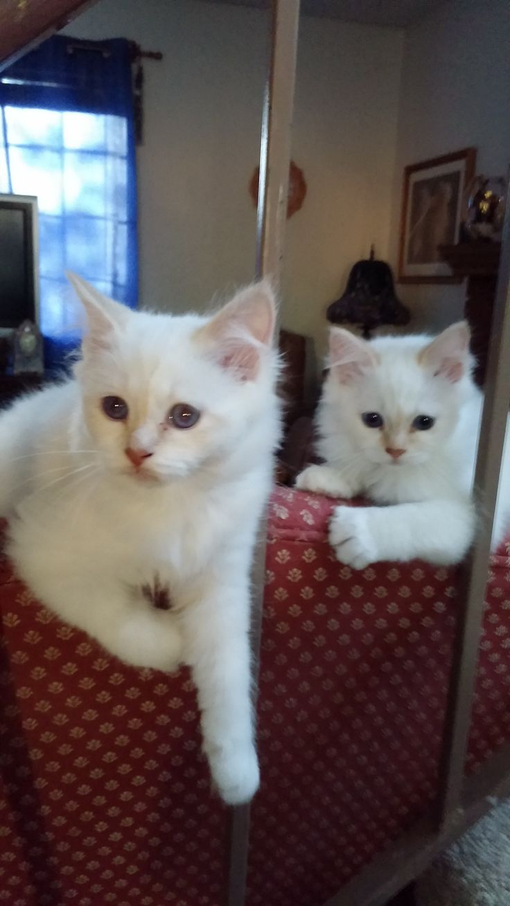 Best 25 Birman cats for sale ideas on Pinterest