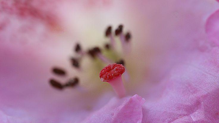 rhododendron macro flower https://www.picturedashboard.com
