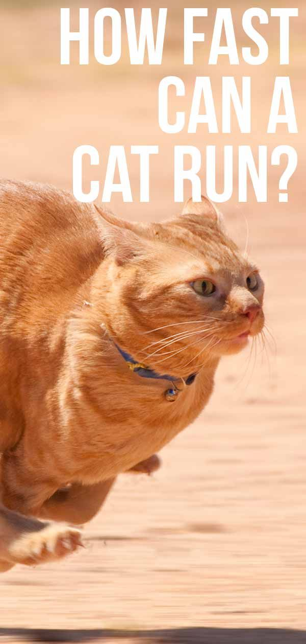 How Fast Can A Cat Run At Full Speed And On Average Cat Run