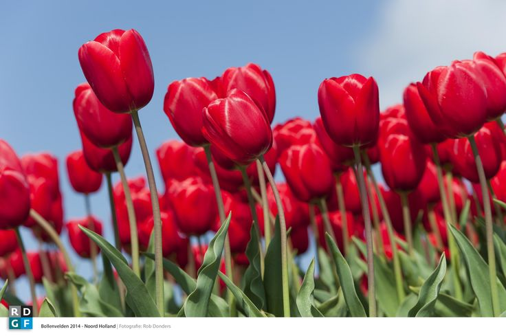 Picture: Rob Donders | Location: Noord - Holland - The Netherlands | Red Flower bulbs