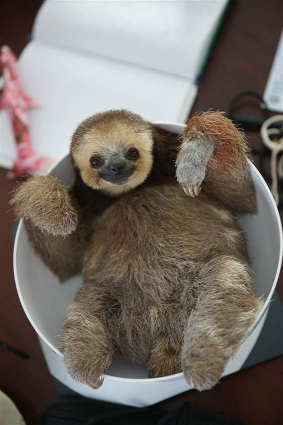 Many of the 200 rescued sloths in Pool's home are three-toed, which don't bite but can be difficult to keep in captivity because they're sensitive and have a more particular diet than the larger two-toed sloth.