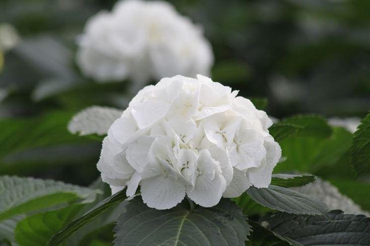 ortensia bianca da giardino