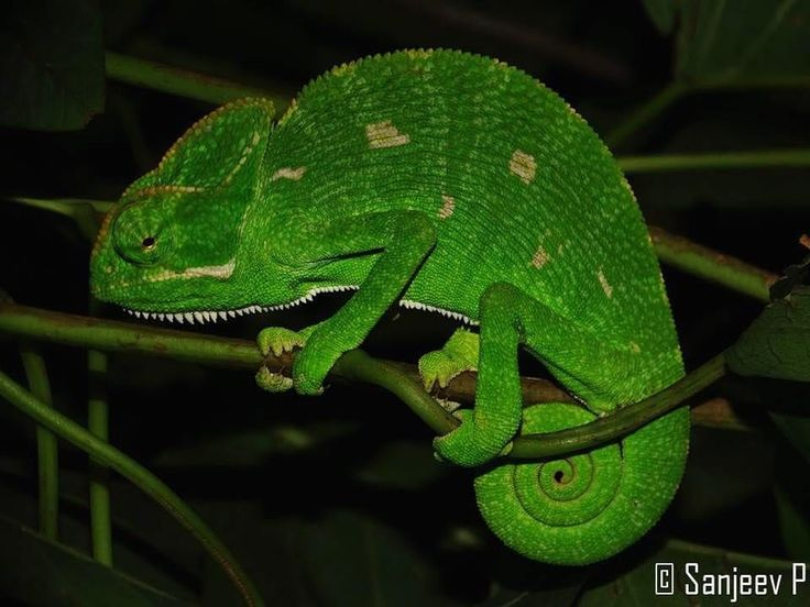 #Repost  @intothewildindia Our most favourite sighting on a night of #herping is spotting a #chameleon asleep on its perch. This old world lizard is evolution's jewel changing colour so they can #camouflage into their surroundings and remain safe from #predators. Until a few years ago residents of #bangalore would commonly encounter chameleons in their backyard. Accelerated #habitatloss and killing on account of misguided superstitious belief has led to decreasing populations of this…