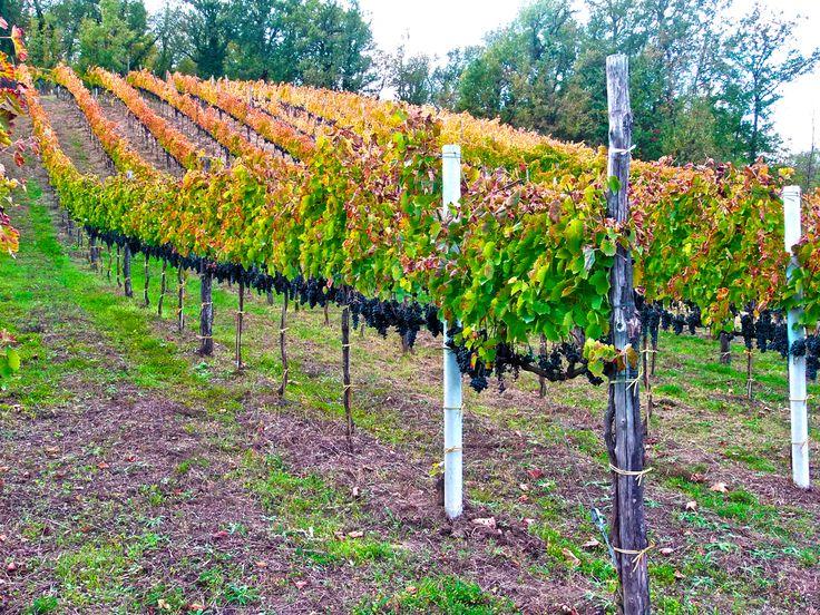 Fratelli De Lisio cantine  Vitigno Aglianico 100%. Zona di produzione Montemarano (Av), Italia. Vigneti Aglianico allevati a cordone speronato su terrenoargilloso e tendenzialmente calcareo con una densità di circa 3.000 piante per ha.