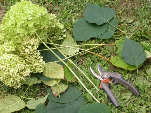 How to Dry Hydrangeas - The Best Ways to Dry Hydrangea Flowers: Prepping the Hydrangea Blossoms for Drying