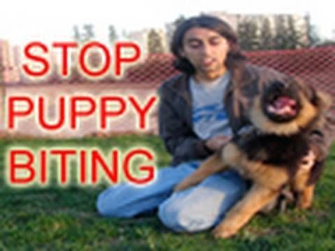 Stop Puppy Biting // He's very good, but I wished he demonstrated more in this video. It's a little more advanced than the average dog owner may have experience with, but he makes great points. Also, I would NEVER use rawhide, too many dogs have choked and died on them.