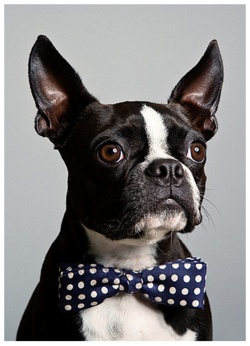 dapper Boston Terrier pup.Puppies, French Bulldogs, Bows Ties, Bow Ties, Boston Bull, Pets, Bowties,  Boston Terriers, Animal